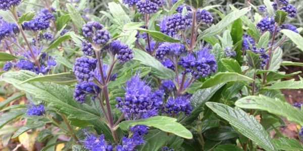 Caryopteris cland. 'Grand Blue'