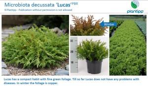 Microbiota decussata 'Lucas'