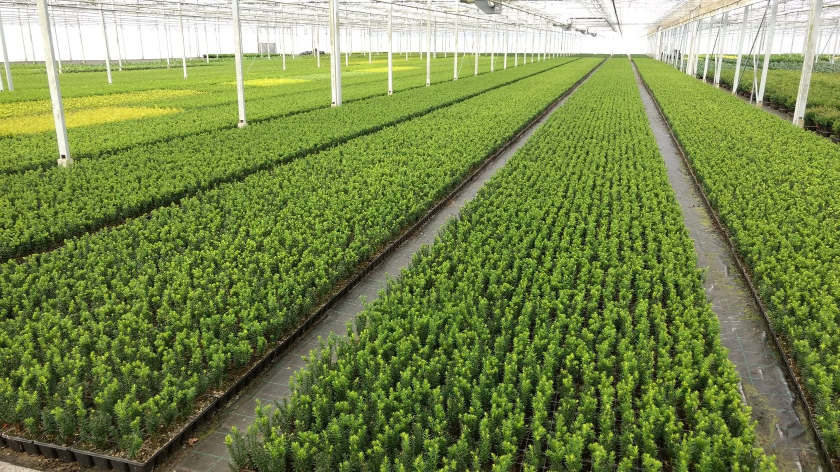Plantgoed-Taxus-1